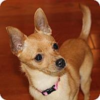 Adopt A Pet :: Tiny Bella - La Habra Heights, CA