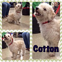 Adopt A Pet :: Cotton - Houston, TX