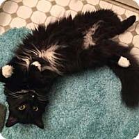 Adopt A Pet :: Frisky - Merrifield, VA