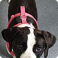 Adopt A Pet :: Oreo (courtesy listing) - Richmond, VA