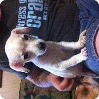 Adopt A Pet :: Tootsie - springtown, TX