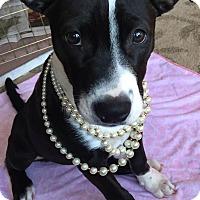 Adopt A Pet :: Gidget - Detroit, MI