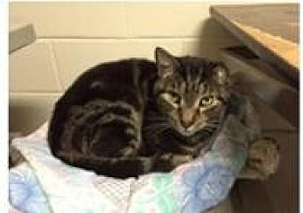 Domestic Shorthair Cat for adoption in New City, New York - FOSTER HOMES NEEDED