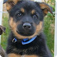 Adopt A Pet :: Beckham von Betty - Thousand Oaks, CA
