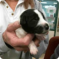 Adopt A Pet :: LORD RAMSEY - Murray, UT