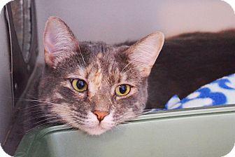 Domestic Shorthair Cat for adoption in Lincoln, Nebraska - Hope