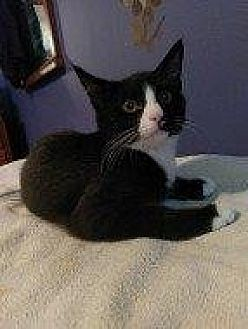 Domestic Shorthair Cat for adoption in Hampton, Virginia - PATTERSON