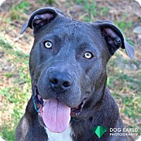 Pit Bull Terrier Mix Dog for adoption in Boston, Massachusetts - Skylark