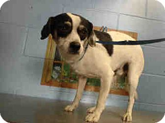 Chihuahua Mix Dog for adoption in San Bernardino, California - URGENT ON 9/22  San Bernardino