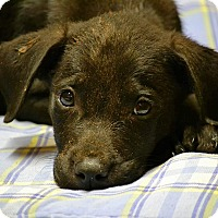 Labrador Retriever Mix Puppy for adoption in Boca Raton, Florida - Herb