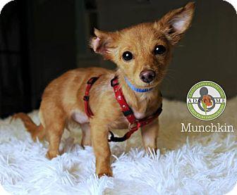 Chihuahua/Dachshund Mix Puppy for adoption in Oceanside, California - Munchkin