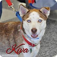 Adopt A Pet :: Kiva - Carrollton, TX