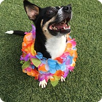 Chihuahua/Dachshund Mix Dog for adoption in Santa Clara, California - Tonka