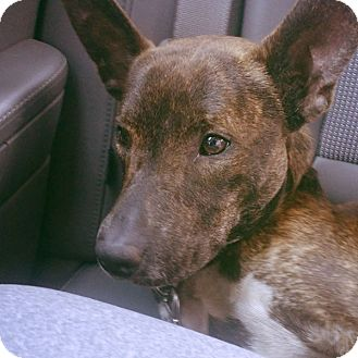 Basenji Mix Dog for adoption in Zephyrhills, Florida - Murphy