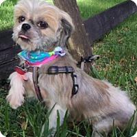 Shih Tzu Dog for adoption in Davie, Florida - Baguette