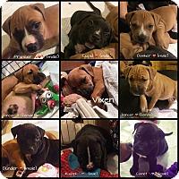 Adopt A Pet :: Puppies - Ronkonkoma, NY