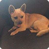 Adopt A Pet :: Shasha - Concord, CA
