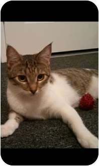 Domestic Shorthair Cat for adoption in Los Angeles, California - Willow
