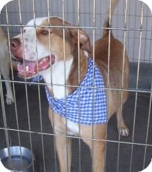 American Pit Bull Terrier Mix Dog for adoption in Las Vegas, Nevada - Nakeeta's Nicky -N