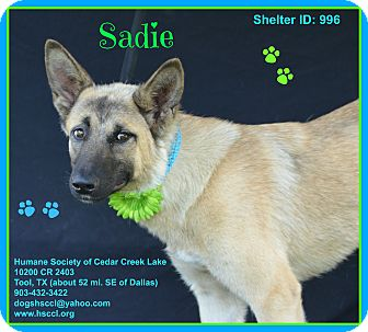 German Shepherd Dog Mix Puppy for adoption in Plano, Texas - Sadie
