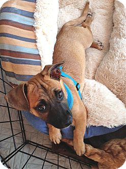 Pug/Dachshund Mix Puppy for adoption in Los Angeles, California - Fritz