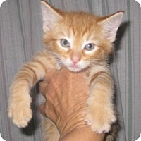 Adopt A Pet :: Aslan - Dallas, TX