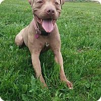 Adopt A Pet :: Zena - Louisville, KY