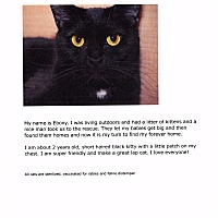 Domestic Shorthair Cat for adoption in Phoenix, Arizona - Ebony