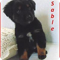 Adopt A Pet :: Sable- Adoption Pending - Marlborough, MA