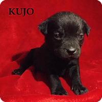 Adopt A Pet :: Kujo - Batesville, AR
