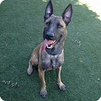 Adopt A Pet :: Tash - Santa Monica, CA
