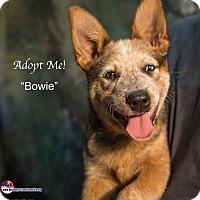 Adopt A Pet :: Bowie - Acton, CA