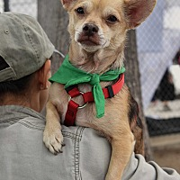 Chihuahua/Beagle Mix Dog for adoption in San Diego, California - Bixby