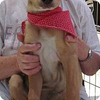 Adopt A Pet :: Blondie - Toms River, NJ