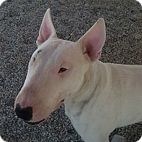 Bull Terrier Dog for adoption in Los Angeles, California - Baron