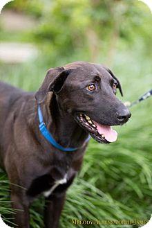 Labrador Retriever Dog for adoption in Scarborough, Maine - Smokey