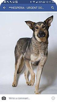 German Shepherd Dog/Anatolian Shepherd Mix Dog for adoption in Lisbon, Ohio - Odie