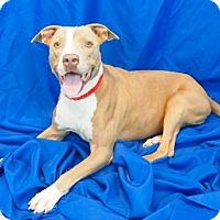 Adopt A Pet :: Portia - New Orleans, LA