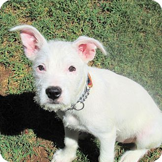 Terrier (Unknown Type, Medium) Mix Puppy for adoption in Cherry Hill, New Jersey - Blanca