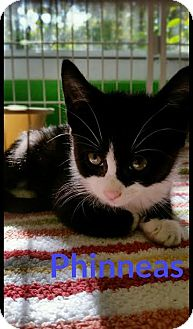 Domestic Shorthair Kitten for adoption in Bloomingdale, New Jersey - Phinneas