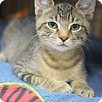 Domestic Shorthair Kitten for adoption in Carlisle, Pennsylvania - Troilus
