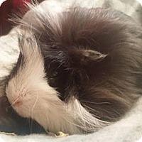 Adopt A Pet :: Hopscotch - South Bend, IN