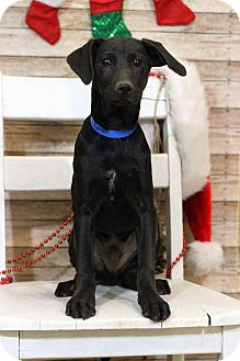 Labrador Retriever Mix Puppy for adoption in Waldorf, Maryland - Lakota