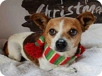 Parson Russell Terrier Dog for adoption in Upland, California - MOZART