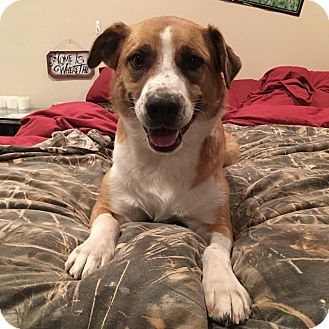 Australian Shepherd/Boxer Mix Dog for adoption in Santa Clarita, California - Blue