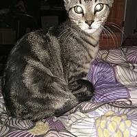 Adopt A Pet :: Groot - Smyrna, GA