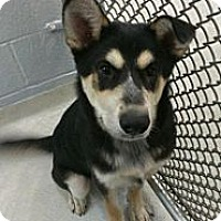 Adopt A Pet :: diesel - cameron, MO