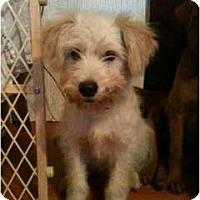 Adopt A Pet :: Benji - Glastonbury, CT