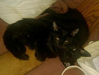 Domestic Shorthair Cat for adoption in Laconia, Indiana - Payton
