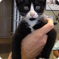 Adopt A Pet :: Mr. Tux - Island Park, NY